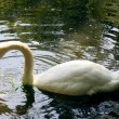 White swan on pond — Stock Photo