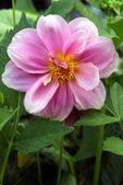 Pink dahlia flower — Stock Photo