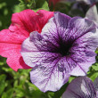Pink and lilflowers of petunia — Stock Photo #11741071