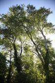 Beautiful big trees — Stock Photo