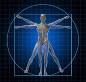 Vitruvian Human Skeleton Man — Stock Photo