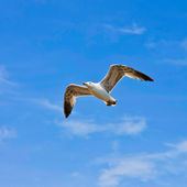 A seagull, soaring in the blue sky — Stock Photo