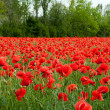 Poppy Field — Stockfoto #10881914