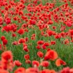 Poppy Field — Stock Photo #10882189