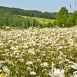 Stock Photo: Meadow of daisies