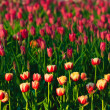 Red and Yellow Tulips in A Garden — Stock Photo