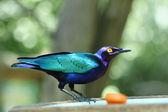 Estornino esmeralda - Purple Glossy Starling - Merle Métalliqu — Stock Photo