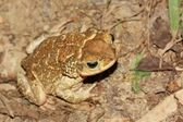River Toad — Stock Photo