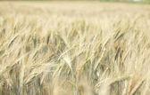 Ferme de blé — Photo
