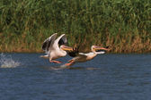 White pelicans (pelecanus onocrotalus) — Stock Photo