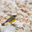 Stock Photo: Yellow wagtail warble