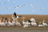 White pelicans (pelecanus onocrotalus) — Photo
