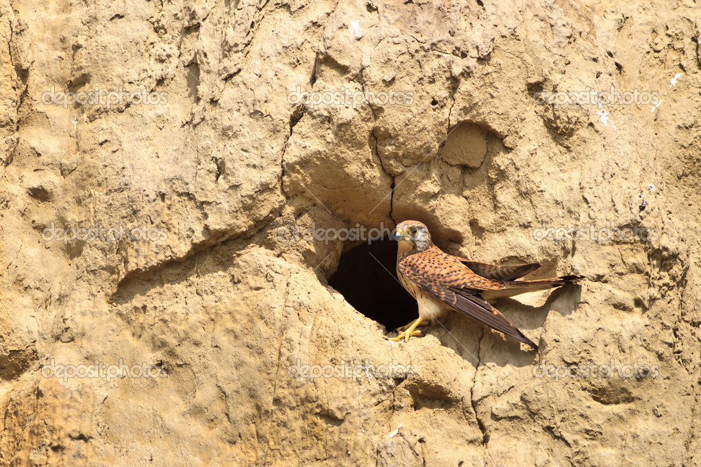 Common Kestrel (falco tinnunculus) on the nest — Foto de Stock   #11324098
