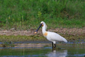 Spoonbill (Platalea leucorodia) — Stock Photo