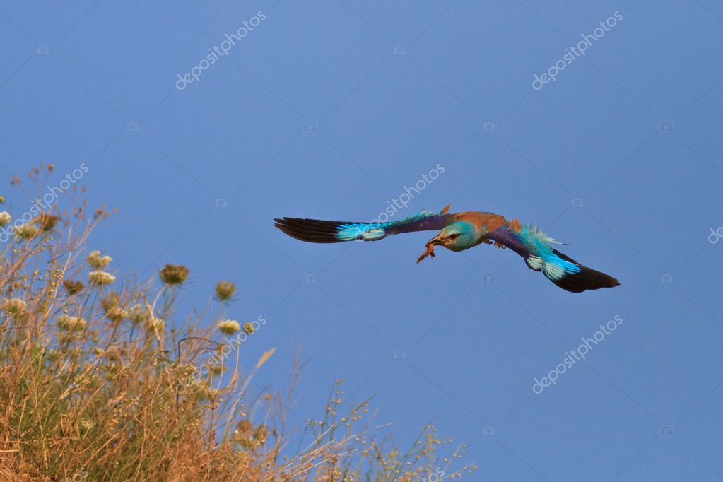 European roller (coracias garrulus) in flight on a blue sky — Stock Photo #11902532