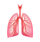 Lungs - pulmonary system. Front view, isolated on white — 图库照片