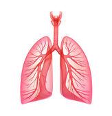 Poumons - système pulmonaire. vue de face, isolé sur blanc — Photo