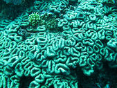 Corals in Indian ocean — Stock Photo