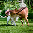 Staffordshire terriers playing on back yard — Stock Photo #11333223