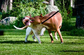 Staffordshire terriers playing on back yard — Stock Photo