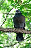 Pigeon sitting on tree branch — Stock Photo