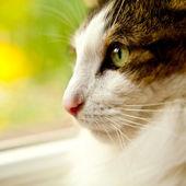 Persian cat looks away — 图库照片