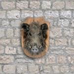Wild boar head — Stock Photo