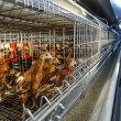 Poultry farm (aviary) full of brown chickens — Stock Photo
