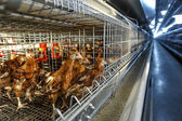 Poultry farm (aviary) full of brown chickens — Стоковое фото