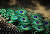 Detail of peacock tail — Stock Photo