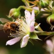 Honey bee collets flower nectar - Stock Photo
