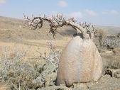 Naturaleza de sokotra. brachychiton rupestris. — Foto de Stock