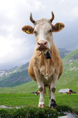 Cow in mountains — Stock Photo