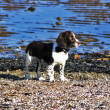 Spaniel enjoying the sun at the beach — Stock Photo