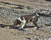 Spaniel sniffing on Cramond Beach, Edinburgh, Scotland — Stock Photo