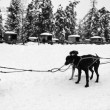 Stock Photo: Dog Sled Team