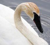 Trumpetaren swan — Stockfoto