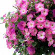 Pretty Pink Petunias - Photo