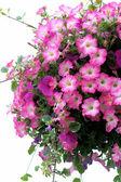 Pretty Pink Petunias — Stock Photo