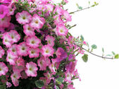 Pretty Pink Petunias — Stock Photo
