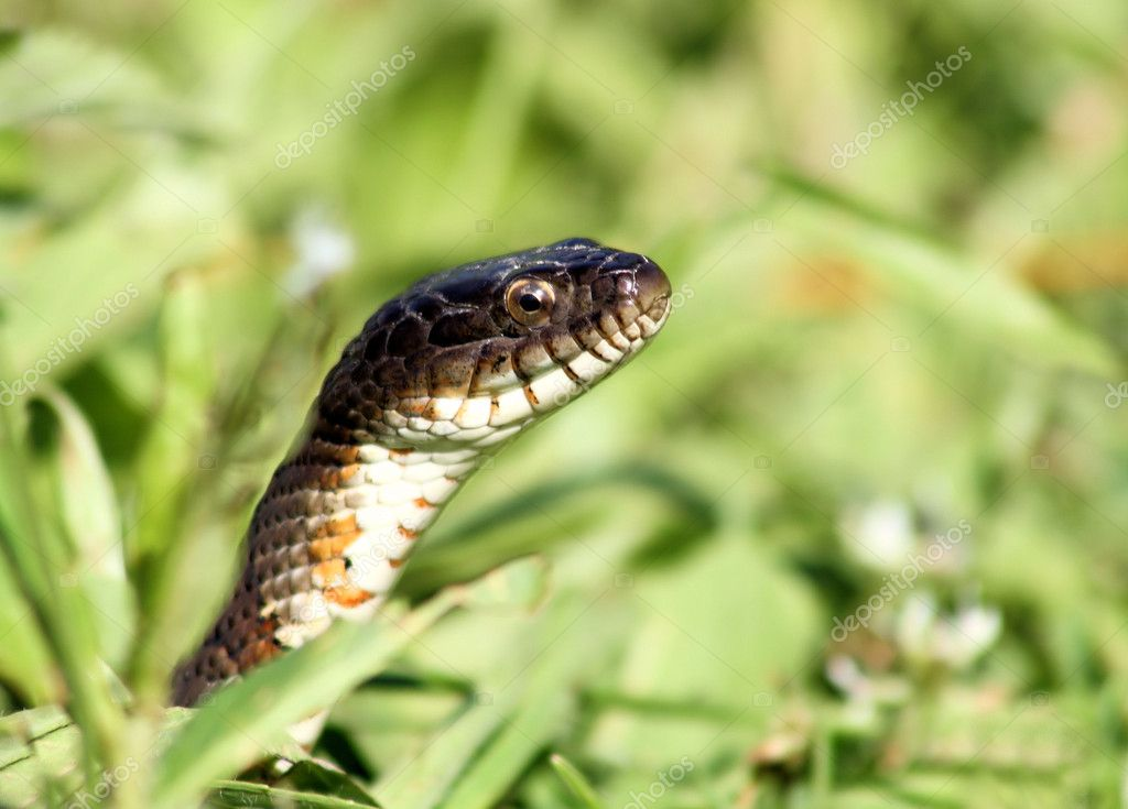 A sneaky Water Snake peeks out through the grass — Stock Photo #11325904
