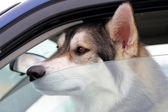 Dog Left In Vehicle — Stock Photo