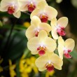 Beautiful orchid in the garden. — Stock fotografie