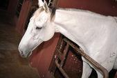 Beautiful white horse — Stock Photo