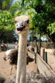 Ostrich's head — Stock Photo