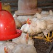 Chicken in poultry farm - Stock Photo