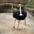 Beautiful Ostrich - Stock Photo