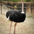 Beautiful Ostrich — Stock Photo #11891114