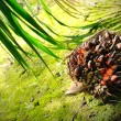 Palm Oil fruits - Photo