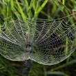 Web of spider and dew — Stock Photo #11534429